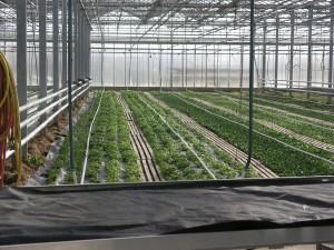 In den großen Gewähshäusern wächst zur Zeit vor allem Feldsalat