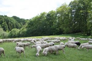 Das Offenhalten der Landschaft ist die wichtigste Aufgabe dieser Schafe